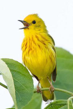 singing yellow warbler | Flickr - Photo Sharing❤️