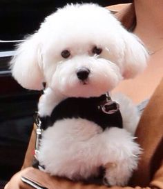 beautiful bichon.
