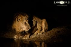 Two of the Sand River male coalition have been feeding steadily on a giraffe carcass for the last two days, and we followed one of them to a nearby dam for a well needed drink. Private Games, Game Reserve, Good Night, Tigers, Lions, South Africa, Giraffe, Safari, Bears
