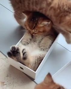 This little kitten has fallen asleep in an iPhone box - Katzen - Cats Funny Animal Videos, Cute Funny Animals, Cute Baby Animals, Animals And Pets, Cute Cats, Funny Cats, Pretty Cats, Beautiful Cats, Animals Beautiful