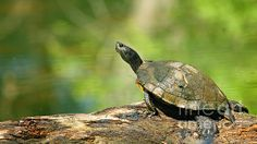 mossy turtle by David Cutts