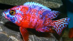 pale usisya aulonocara male in habitat a search results list on arkive ...