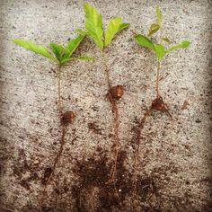 Acorn tree seedlings
