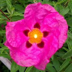 Cistus × purpureus - (Rock rose), AGM, Family Cistaceae, Originating from S… Evergreen Shrubs, Trees And Shrubs, Shrubs For Sale, Rock Rose, Dry Garden, Planting Roses, Plant Nursery, Plant Sale, Pink Flowers
