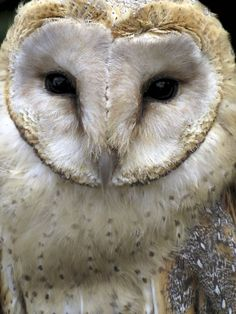 I want a pet owl!! They are so beautiful!!