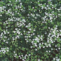Thymus serpyllum Alba   White Flower Farm