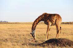 Notes From Kenya: MSU Hyena Research: Stillborn giraffes and patient hyenas.