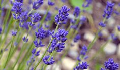 How to grow lavender for skincare recipes including creams, soaps, & oils. Tips on varieties, growing conditions, container growing, harvesting & recipes