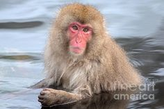 A juvenile Japanese Macaque or snow monkey soaks up the warmth of the onsen or hot springs in the winter season of Japan. This onsen is near Yamanouchi and called Jigokudani Monkey Park.