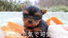 ヨーキー子犬12/01生オス1号仔犬『まる』 | 【york161201m001mama】a11