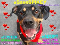 #SaveSPIKEY SWEET 2YR #DOG 2 DIE 8/12 NYCACC! PLS #FOSTER #ADOPT #RESCUE #LOVE #Pledge RT https://www.facebook.com/Urgentdeathrowdogs/photos/a.611290788883804.1073741851.152876678058553/852898881389659/?type=3&theater … pic.twitter.com/En3s3yQjzd
