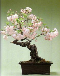 bonsai apricot | ... bonsai trees. Water the bonsai until it starts draining out of the pot