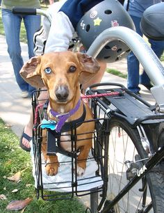 Buster on a bikeride thats a travel dog www.capemaytraveldogs.com