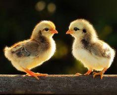 imagenes de pollitos enamorados-2