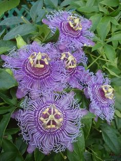 Very Hardy plants! Passiflora-Passion flowers only bloom for a day, but what a beautiful day that is. Unusual Flowers, Unusual Plants, Rare Flowers, Amazing Flowers, Purple Flowers, Beautiful Flowers, Tropical Flowers, Yellow Roses, Pink Roses
