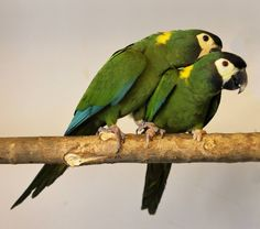 Ara dal collare - Yellow-collared Macaw - Propyrrhura auricollis