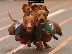Googled dachshund racing, was not disappointed @Leah Merrill