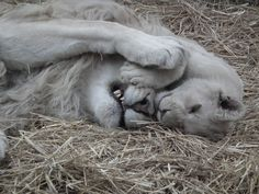 White lion and his son