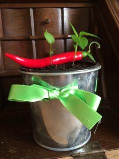 Er din far heller ikke meget for at gå i haven? Hvad så med en plante som de fleste mand gerne vil passe? Her har jeg forspiret to chilier, og vedlagt en enkelt færdig chili, så det kan ses hvilke planter der glæder sig til at vokse op.