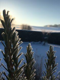 frozen rosemarin