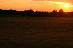 Zonsondergang over het korenveld. Bergkvara.