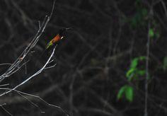 Foto topázio-de-fogo (Topaza pyra) por Whaldener Endo | Wiki Aves - A Enciclopédia das Aves do Brasil