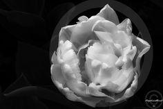 Tulipe - Morges