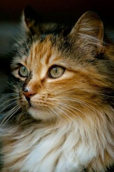 If you're looking for Free Maine Coon Kittens for adoption we've written some tips on how to find Free Maine Coon Cats and where to look for them. Pretty Cats, Beautiful Cats, Animals Beautiful, Pretty Kitty, Gatos Maine Coon, Maine Coon Cats, Cute Kittens, Cats And Kittens, Kittens Meowing