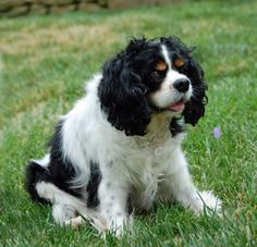 CAVALIER RESCUE USA (CA) Santa Barbara, CA Ginger, is a happy, heart-healthy 10 year old Cavalier who came to rescue to find a home where she will receive more attention. She is a sweet, calm girl who gets along fine with other dogs - in fact, she would prefer another gentle dog as a...