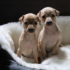 #Salatino's #ItalianGreyhound   #dog #salatino #clubesalatino #canil #perro #dogs #cute #love #nature #animales #dog #cute#pli #galgos #galgoitaliano #pequenolebrel #italian #picololevriero #picololevrieroitaliano #pequenolebrelitaliano #filhote
