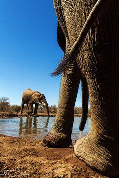 Bull elephants, Mashatu, Botswana