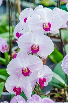Blooming orchids, Mendel University´s botanic gardens in Brno, Czech Republic