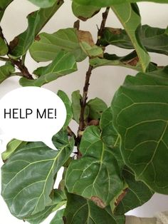 Fiddle leaf fig. Keep in mind that brown leaves = too little water; yellow leaves = too much water; brown edges or spots = too much sun