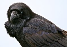 corvus corax bird - Google Search