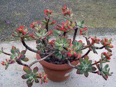 Echeveria pulvinata 'Ruby Blush' - See more at: http://worldofsucculents.com/echeveria-pulvinata-ruby-blush