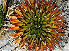 pelona (Mescal Pelon) Mescal Pelon / Mexican Agave: Agave pelona - is a superb, solitary succulent plant, similar to Agave ocahui.Mescal Pelon / Mexican Agave: Agave pelona - is a superb, solitary succulent plant, similar to Agave ocahui. Growing Succulents, Cacti And Succulents, Planting Succulents, Cactus Plants, Garden Plants, Planting Flowers, House Plants, Succulent Planters, Hanging Planters