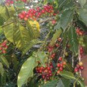 Coffee Cherries www.fundraisingcoffee.com
