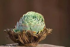 Echeveria Imbricata in a bird's nest pot by Keith Kitoi Taylor Succulents In Containers, Cacti And Succulents, Planting Succulents, Cactus Plants, Air Plants, Echeveria Imbricata, Love Ceramic, Succulent Bonsai, Succulent Arrangements