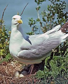American Herring Gull (Smithsonian Gull), Family: Laridae, Order: Charadriiformes) large gull which breeds in North America; subspecies of Herring Gull (L. argentatus); northern part of North America: central & southern Alaska to Great Lakes; breeds over most of Canada
