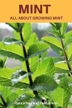 Mint herb planting