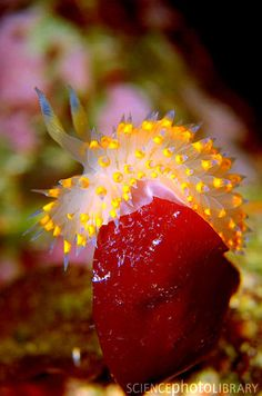 Sea slug how intersting and beautiful much prettier than land slugs God is amazing from all the creatures in the seas to human beings he did everything for a reason