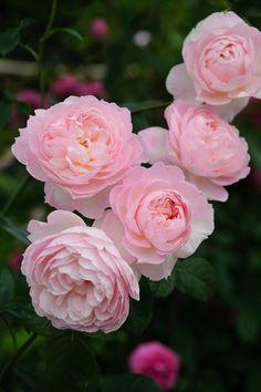 'Gentle Hermione'   David Austin English Rose