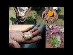 Medicinal Rice P5O Formulations for Manisuris Excess: Pankaj Oudhia's Me...