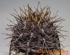 Gymnocalycium gibbosum v. chubutense Cactus Gallery