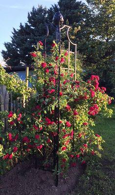 Ersetzte Vor Kurzem Gerade Rechtzeitig Eine Viel Zu Kleine Rank Hilfe Für Bezaubernde Kletterrose Chevy Chase Bevor Sie Ersten Blüten öffnete
