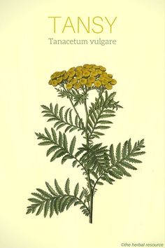 Natural Holistic Remedies tansy herb Tanacetum vulgare - Health Benefits, Active Substances, Dosage and Side Effects of Tansy (Tanacetum vulgare) and Its Traditional Uses and History as a Medicinal Herb