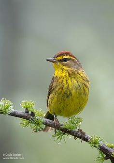 The Palm Warbler (Setophaga palmarum) is a small songbird which breeds in open coniferous bogs across Canada and the northeastern U.S.