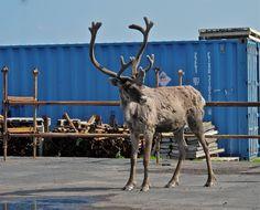 Reindeer in Kirkenes.