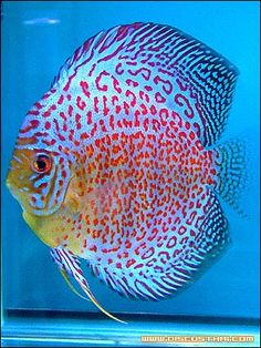 Discus ring leopard The Effective Pictures We Offer You About Fish humor A quality picture can tell Colorful Fish, Tropical Fish, Acara Disco, Fauna Marina, Carpe Koi, Discus Fish, Pet Fish, Fish Fish, Salt Water Fish