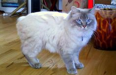 Five Fun Facts About the Manx Cat Cymric, Manx Kittens, Cats And Kittens, Beautiful Cats, Animals Beautiful, Gato Manx, Long Hair Cat Breeds, Fluffy Cat Breeds, Cat Biting